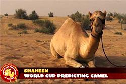 Верблюд-предсказатель Шахин дает верные прогнозы на  ЧМ по футболу 2014