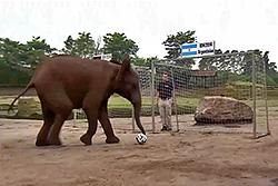 Прогноз слонихи Нелли на финал ЧМ-2014
